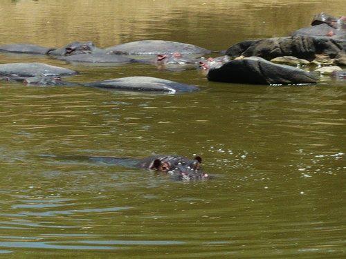 世界一周マサイマラ国立公園サファリ_15.jpg