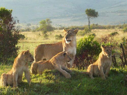 世界一周マサイマラ国立公園サファリ_43.jpg